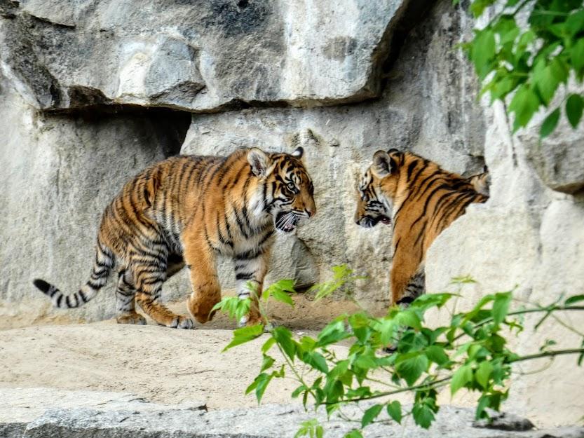 Dwa młode tygrysy sumatrzańskie