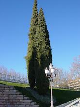 Photo: Cipreses comunes (Cupressus sempervirens) con porte columnar