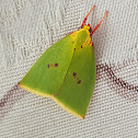 Yellow-Collared Tyana