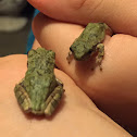 Gray/Cope's Gray Tree Frog