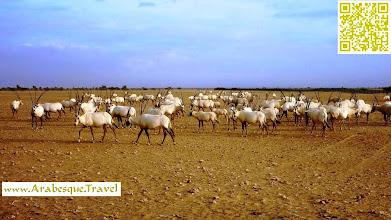 Photo: white Oryx reserve jaaloni Oman