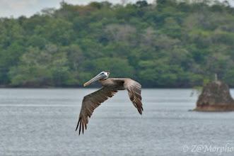 Photo: Brown Pelican @ Paquera, Nicoya Peninsula