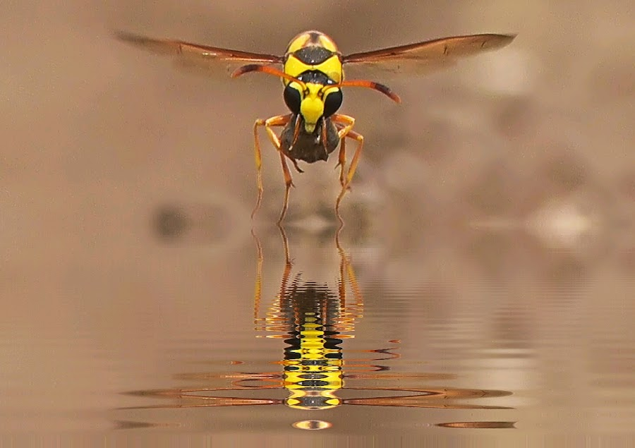 fly on the water.. by Yoce Mocodompis - Animals Insects & Spiders (  )
