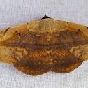 Spotless Owlet Moth Male