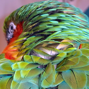 Parrot in Canada by Jacob Uriel - Animals Birds ( bird, green, parrot, feathers, closeup )