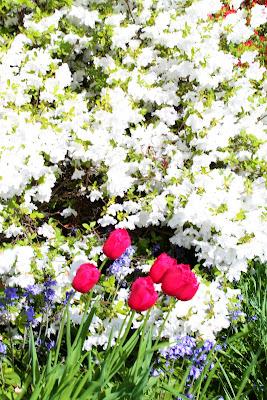 Parlano d'amore i tuli,  tuli, tuli, tulipan... di NinaBetta