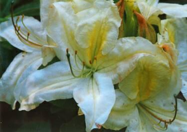 'Cherokee Lemon Chiffon'