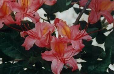 'Cherokee Coral Beauty'