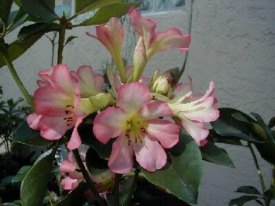 Rhododendron 'Calavar'