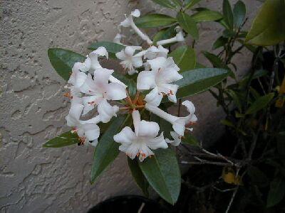 Rhododendron 'Princess Alexandra'
