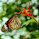 The common tiger