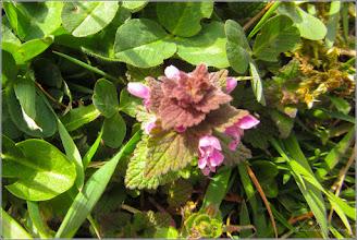 Photo: Urzica moarta rosie (Lamium purpureum) - Turda,  pe Calea Victoriei, parcare Micro. 3 - 2019.03.29