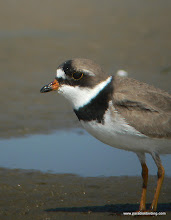 Photo: Semipalmated Plover, Bolivar Flats Shorebird Sanctuary, upper Texas Coast