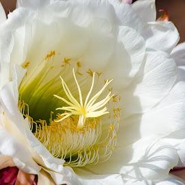 Argentina Cactus Flower by Dave Lipchen - Flowers Single Flower ( argentina cactus flower )