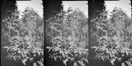Photo: Tree Peony. 105mm 4x5 stereo camera, Ilford VC preflashed f/6.3 1/25sec