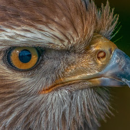 steppe buzzard by Peter Schoeman - Animals Birds ( feather, prey, raptor, beak, eyesight, fauna, south africa, steppe, avian, sharp beak, animals in the wild, migrant, feathers, bird, buzzard, hunter, hunting, africa, natural, brown, south-africa, eye, closeup, carnivore, eagle, wilderness, animal, looking, game, plumage, strong, bird of prey, yellow, majestic, eyes, watching, head, stare, wild animal, wildlife, steppe buzzard, nature, predator, black, portrait, awesome, powerful, wild life, observing, wild )