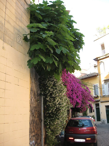 Photo: beautiful fig tree and lovely flowers growing out of this courtyard over the wall