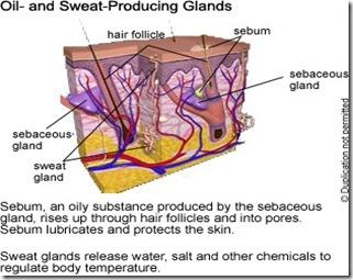 SweatandOilProducingGlands