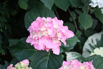 Photo: Hydrangea Beautensia™ Spike