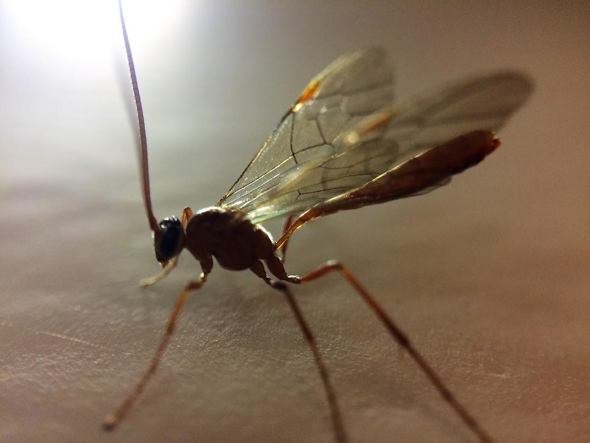 Short-tailed Ichneumon Wasp