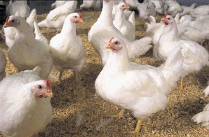 SA loves chicken, and, with the right help, the country can produce enough to be able to do away with poor import practices. Picture: FINANCIAL MAIL