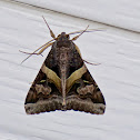 Melipotis Moth