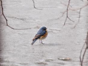 Photo: 撮影者:山田満喜男 ルリビタキ タイトル:氷上のルリビタキ 観察年月日:2014年2月23日 羽数:1 場所:長池公園長池 区分: メッシュ:武蔵府中1C コメント:凍った池の表面を行ったり来たりしていました