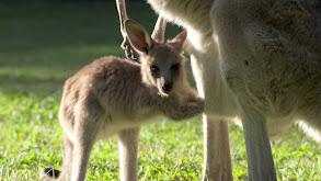 Robert's Baby Kangaroo thumbnail