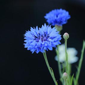 Bachelor buttons by Michael Velardo - Flowers Flowers in the Wild ( blue flowers, nature, centaurea cyanus, bachelor button, flowers,  )