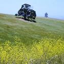 California Mustard