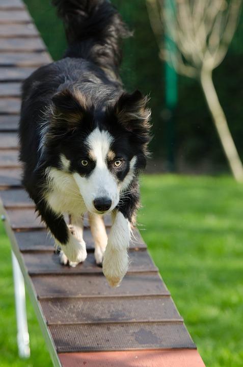 dog agility training a-frame