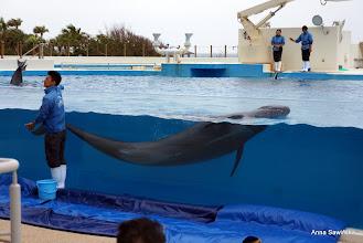 Photo: False killer whale