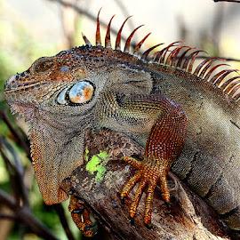 Toujours plus haut by Gérard CHATENET - Animals Reptiles