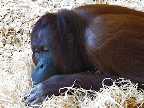 Photo: AUGENblick: Orang-Utans  Primaten Die Orang-Utans sind eine Primatengattung aus der Familie der Menschenaffen.  Von den anderen Menschenaffen unterscheiden sie sich durch ihr rotbraunes Fell und durch ihren stärker an eine baumbewohnende Lebensweise angepassten Körperbau.