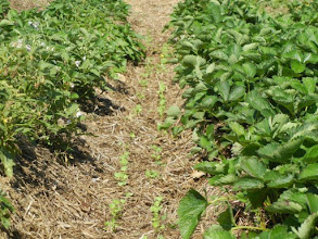 Photo: Guy Moore of Larriland Farms sent this pic of one of his applications for using forage radishes.  This shows a double row of radishes in the footpath between strawberry rows in his pick your own strawberry field planted. The radishes were planted with a Monosem no till drill. The radishes repair the compaction inflicted by pickers walking and tractor wheels on wet soils. See next slide for later view.