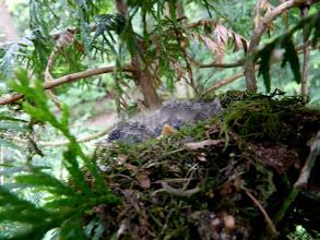 Photo: Pacific-slope Flycatcher's nest