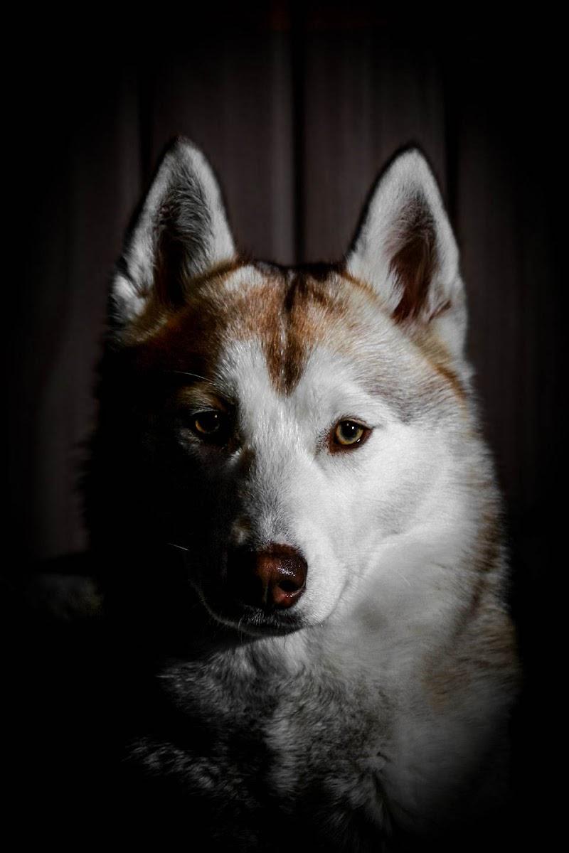 Siberian Husky - Sophie di Mario Quaglia