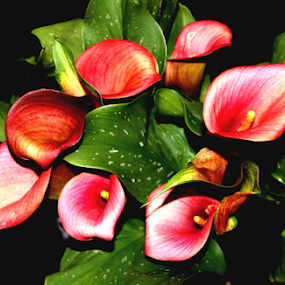 Lily by Patti Westberry - Flowers Flower Arangements ( mothers day flower, lily, calla, calla lily, flower )