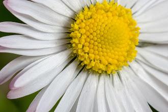 Photo: Gänseblümchen