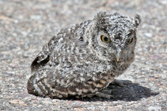 Photo: Whiskered Screech-Owl (fledgling 1 on road)