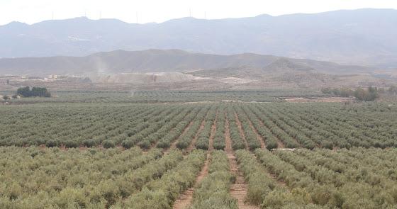 El empresario Juan Carrión arrancará 200 hectáreas de olivo para plantas solares