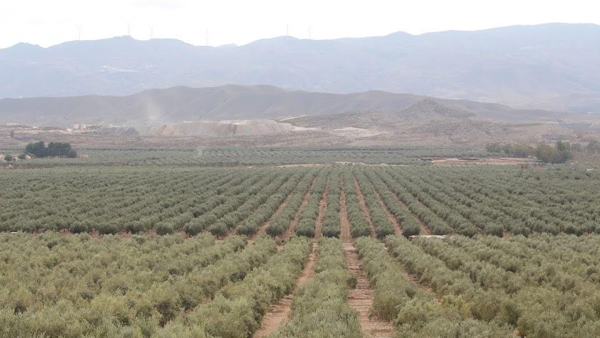 Campo de olivares en las inmediaciones de Tabernas.