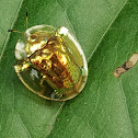 Golden tortoise beetle