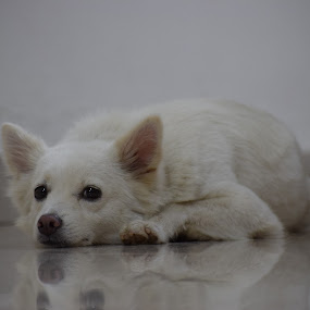 White pomeranian puppy by Rahul Manoj - Novices Only Pets ( floor, white, ears, puppy, eyes )