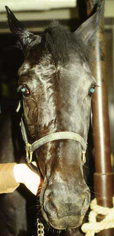 Right sided Horner's syndrome. Note the sweating and mild ptosis on the right side of the horse's head.