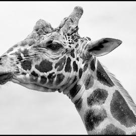 Giraffe by Dave Lipchen - Black & White Animals ( giraffe )