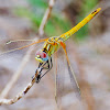 Red veined Darter; Dardo de Venas Rojas