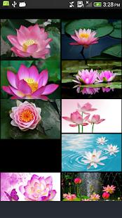 Lotus - náhled