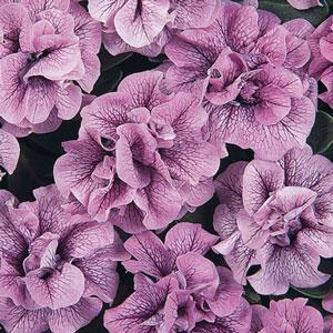 Image result for petunia double wave blue vein