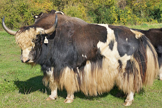 Photo: Both sexes have a short neck with a pronounced hump over the shoulders, although this is larger and more visible in males. The tail is long and horselike rather than tufted like the tails of cattle or bison